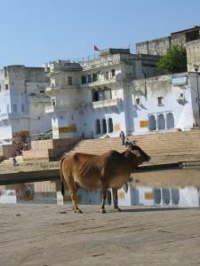 Eine wahrscheinlich heilige Kuh!